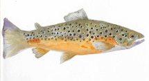 Wylye trout thnl