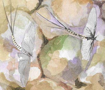 Mayfly spiiners thnl